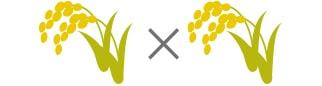 稲の交配イメージ